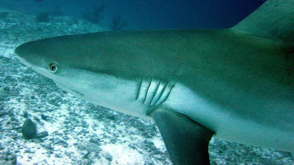 Maldives Shark