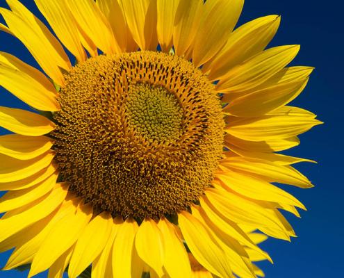 sunflower flor catalonia landscape