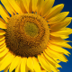 sunflower flor catalonia landscape